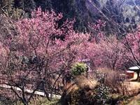王滝渓谷の梅
