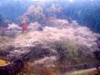 小原の四季桜・写真