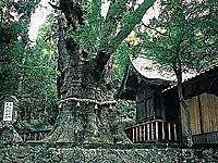 大杵社の大杉