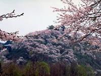 八乙女公園の桜・写真