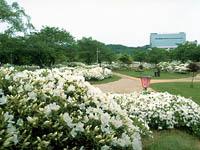 白つつじ公園・写真