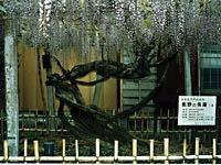 行興寺の藤・写真