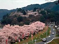 尾関山公園の桜・写真