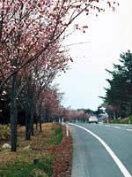 世界一長い桜並木・写真