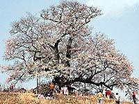 醍醐桜・写真