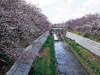 山崎川四季の道の桜