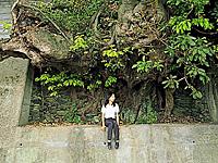 アコウ樹・写真