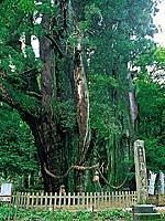 杉の大杉・写真