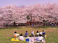 熊谷桜堤・写真