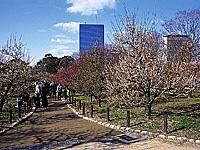 大阪城公園のウメ