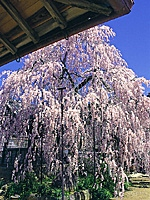 大野寺の桜・写真