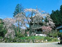浄専寺のしだれ桜・写真