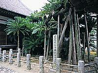 能満寺の蘇鉄