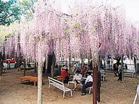 大歳神社の千年藤・写真