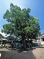 三郎丸の大クス・写真