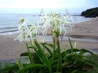 市後浜のハマユウ・写真