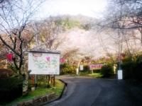 猪子山公園の桜・写真