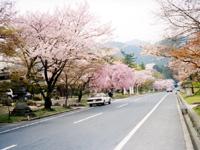日吉大社付近の桜
