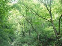 小入谷のカキツバタ(カキツバタの湿地)・写真
