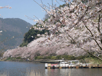 海津大崎の桜・写真