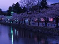 彦根城の桜・写真