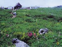 伊吹山の高山植物・写真