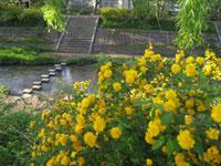 玉川堤のヤマブキ・写真
