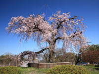 円山公園の桜・写真