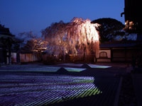 高台寺の桜