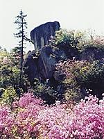 雲岩公園のヤマツツジ