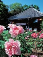 乙訓寺のボタン・写真