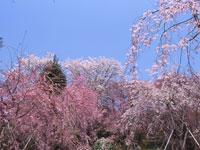 原谷苑・写真
