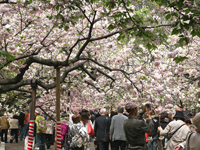 造幣局桜の通り抜け・写真