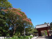 観心寺のサルスベリ・写真