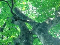 和泉葛城山のブナ原生林・写真