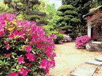 五月山公園のサクラ・ツツジ・写真