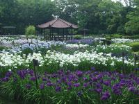 城北菖蒲園・写真