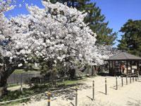 夙川公園の桜・写真