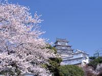 姫路城の桜・写真