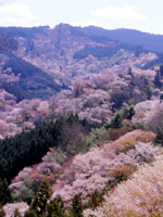 吉野山の桜・写真