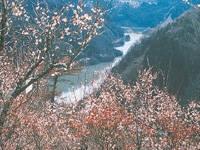 月ヶ瀬梅渓の梅