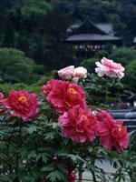 長谷寺のボタン・写真