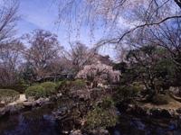竹林院の桜