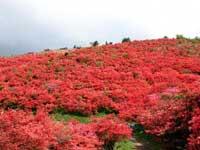 葛城高原のツツジ・写真
