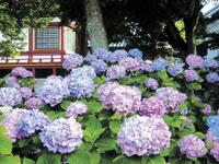 矢田寺のアジサイ・写真