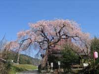 西光寺の城之山桜・写真