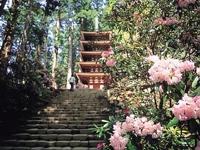 室生寺のシャクナゲ・写真
