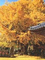 光泉寺の大銀杏・写真