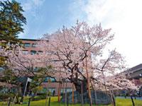 石割桜・写真