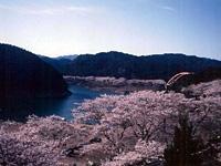 七川ダム湖畔の桜